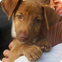 Adopt A Pet :: Chaz - Holly Springs, NC
