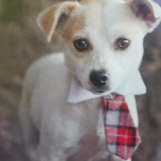 Chihuahua Mix Dog for adoption in Dalton, Georgia - Jim