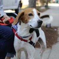 Adopt A Pet :: Betsy - Hendersonville, NC