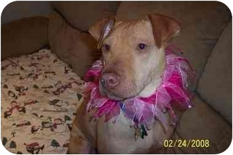 Shar Pei/Pit Bull Terrier Mix Dog for adoption in Northville, Michigan - Annabelle