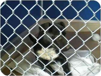 Australian Cattle Dog/Whippet Mix Puppy for adoption in McIntosh, New Mexico - Ellie
