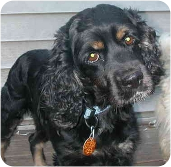 Cocker Spaniel Dog for adoption in Chicago, Illinois - Patty Paige(ADOPTED!)