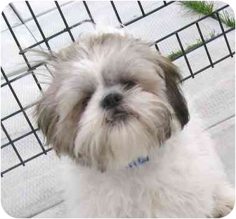Shih Tzu Puppy for adoption in Ile-Perrot, Quebec - Mamouth