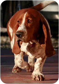 Basset Hound Dog for adoption in Phoenix, Arizona - Jay-Z