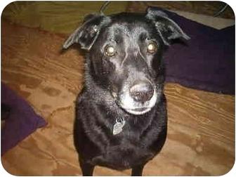 Labrador Retriever Mix Dog for adoption in North Jackson, Ohio - Bubba