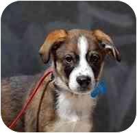 Greater Swiss Mountain Dog/German Shepherd Dog Mix Puppy for adoption in Denver, Colorado - Fernando