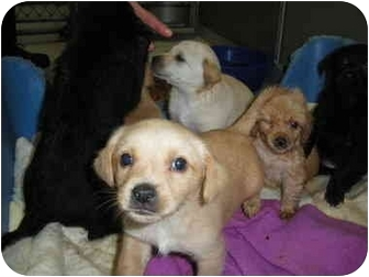 "Feist/Labrador Retriever Mix Puppy for adoption in MARION, Virginia - ""Puppies"""