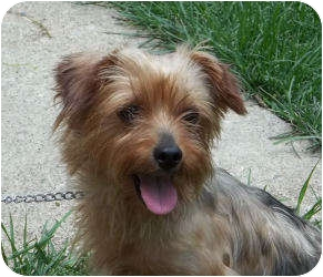Yorkie, Yorkshire Terrier Mix Dog for adoption in Paris, Illinois - Missy