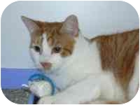 Domestic Shorthair Cat for adoption in Arlington, Virginia - Dallas
