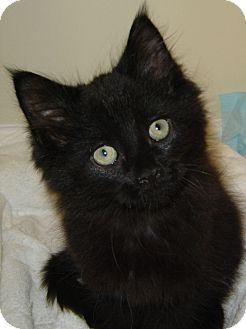 Domestic Mediumhair Kitten for adoption in Southington, Connecticut - Lucy