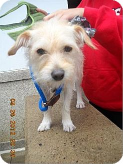 Terrier (Unknown Type, Small) Mix Dog for adoption in Freeport, New York - Tucci
