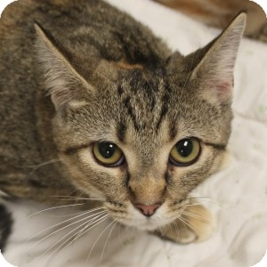 Domestic Shorthair Cat for adoption in Naperville, Illinois - Tandy