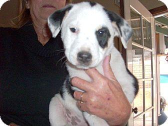 Australian Shepherd/Labrador Retriever Mix Puppy for adoption in Apple Valley, California - Patches