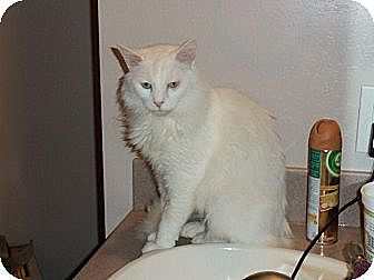 Domestic Mediumhair Cat for adoption in Houston, Texas - Snow