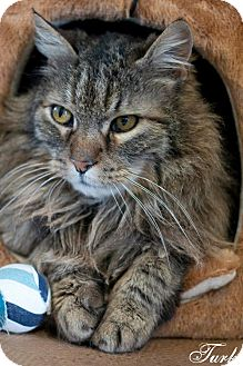 Domestic Longhair Cat for adoption in Manahawkin, New Jersey - Turk