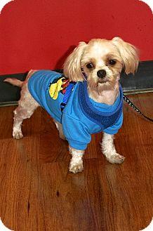 Maltese/Poodle (Miniature) Mix Dog for adoption in Englewood, Florida - Scali