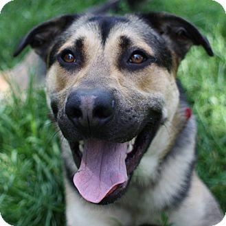 Shepherd (Unknown Type) Mix Dog for adoption in Lyons, New York - Thunder