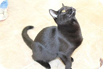American Shorthair Cat for adoption in Waynesville, North Carolina - Chubbs