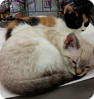 Siamese Kitten for adoption in Old Bridge, New Jersey - Cally and Meezer