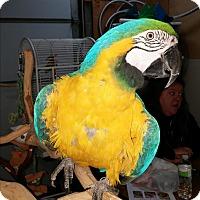 Adopt A Pet :: Big Mac - Lenexa, KS