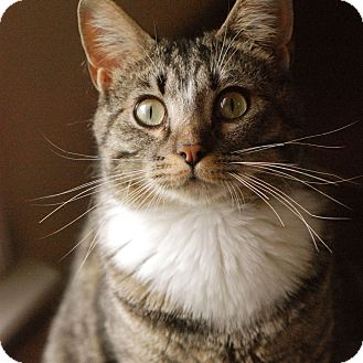 Domestic Shorthair Cat for adoption in Huntsville, Alabama - Harrison