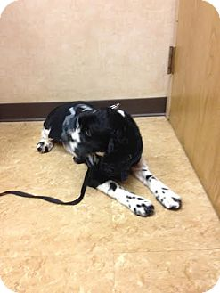 English Springer Spaniel Mix Dog for adoption in Brick, New Jersey - Willow