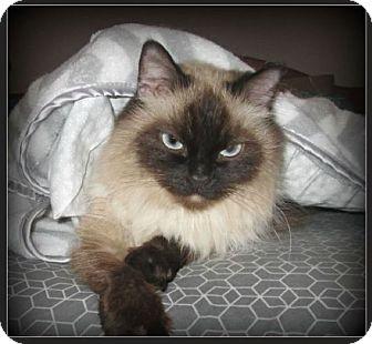 Siamese Cat for adoption in Gilbert, Arizona - Pia Maria