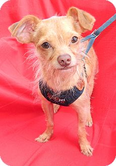 Terrier (Unknown Type, Small) Mix Dog for adoption in Umatilla, Florida - Wishbone