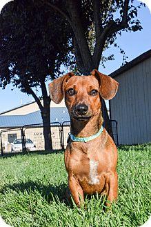 Dachshund Mix Puppy for adoption in Meridian, Idaho - Tucker