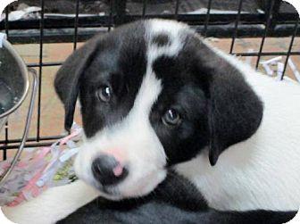 Great Pyrenees/Labrador Retriever Mix Puppy for adoption in Nesquehoning, Pennsylvania - Carter