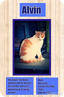 Domestic Shorthair Cat for adoption in CLEVELAND, Ohio - Alvin
