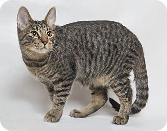 Bengal Kitten for adoption in El Dorado Hills, California - Capuchin