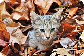 Domestic Shorthair Kitten for adoption in Knoxville, Tennessee - Scribbles