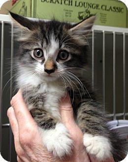 Domestic Mediumhair Kitten for adoption in Putnam Hall, Florida - Pandora