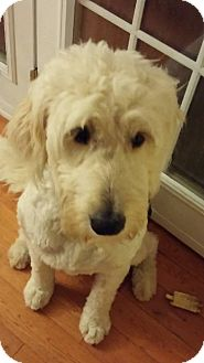 Goldendoodle Mix Puppy for adoption in Cambridge, Ontario - Lexi