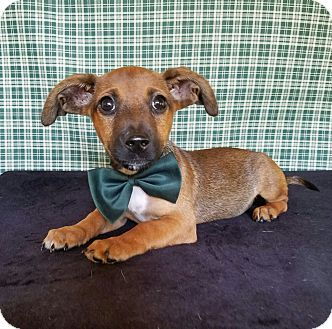Dachshund/Terrier (Unknown Type, Small) Mix Puppy for adoption in Brewster, New York - Quincy