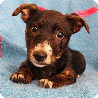 Dachshund/Rat Terrier Mix Puppy for adoption in santa monica, California - Bud