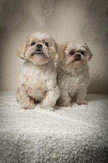 Shih Tzu Dog for adoption in Davie, Florida - Fat Boy & Daisy