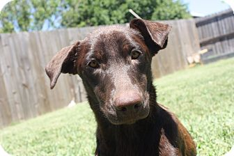 Labrador Retriever Mix Dog for adoption in San Antonio, Texas - Brownie