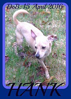 Chihuahua/Pug Mix Dog for adoption in Halifax, Nova Scotia - HANK