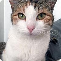 Adopt A Pet :: Muna: Stunning Sweet Calico - Brooklyn, NY