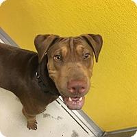 Adopt A Pet :: Cooper - Suwanee, GA