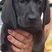 Adopt A Pet :: Damzel - Brattleboro, VT