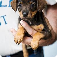 Adopt A Pet :: puppy 3 - Clarkesville, GA