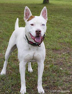 Husky/Bull Terrier Mix Dog for adoption in Warner Robins, Georgia - Blue