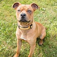 Pit Bull Terrier Mix Dog for adoption in Lockport, New York - Chester Bennington