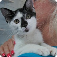 Domestic Shorthair Kitten for adoption in Picayune, Mississippi - Cricket
