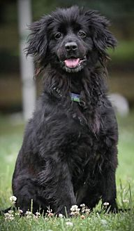 Cocker Spaniel Dog for adoption in Westminster, Maryland - Cherry
