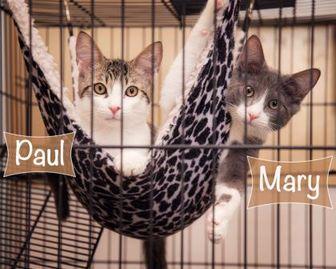 Domestic Mediumhair/Domestic Shorthair Mix Cat for adoption in Palm Springs, California - Paul