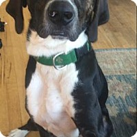 Adopt A Pet :: Maverick - Westminster, MD
